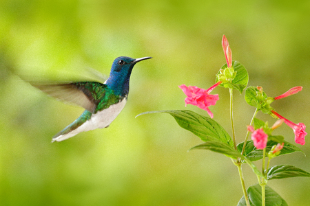 Bird with red flower. Hummingbird White-necked Jacobin, flying next to beautiful red flower with green forest background, Tandayapa, Ecuador. Hummingbird in the tropic forest. Wildlife tropic nature.