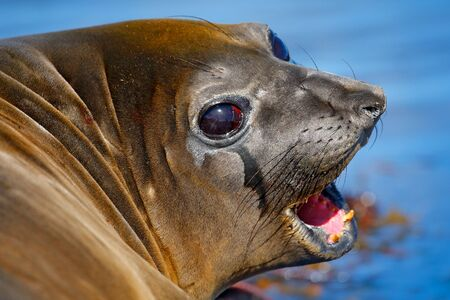 Open muzzle, tooth and tongue. Elephant seal from Falkland islands with open muzzle and big dark eyes, dark blue sea in background. Detail close-up portrait. Wildlife scene from nature, Antarctica.