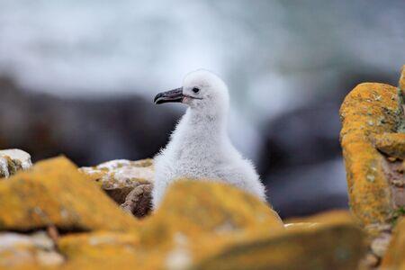 Carino bambino di albatro sopracciglio nero, Thalassarche melanophris, seduto sul nido di argilla sulle Isole Falkland. Scena della fauna selvatica nella natura. Onda mare sullo sfondo.