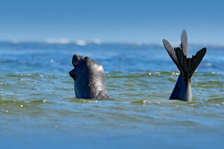 Elephant seal, Mirounga leonina. Seal in ocean water. Big sea animal in the nature habitat in Falkland Islands. Elephant seal in the nature. Sea wildlife. Blue sky, ocean waves. Mammal swimming. Stock Photo