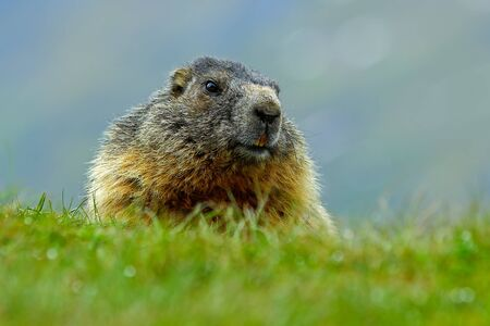 Marmot, Marmota marmota, cute fat animal sitting in the grass with nature rock mountain habitat, Alp, Austria. Animal in the green summer nature. Portrait of beautiful marmot.