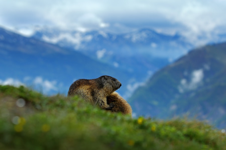Fighting animals Marmot, Marmota marmota, in the grass with nature rock mountain habitat, Alp, Austria. Mormot with grass mountain and grey clouds. Widlife scene from Alp. Marmot in the nature.