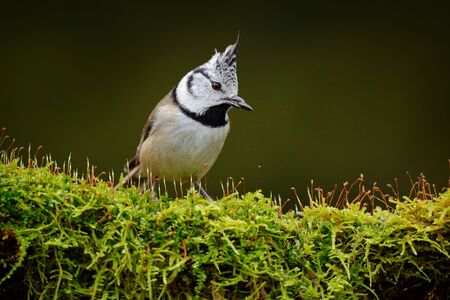 Crested Tit sitting, Songbird on beautiful green moss lichen branch with clear green background. Bird with crest, Czech Republic Bird in the nature green moss habitat. Wildlife Europe, songbird. Stock Photo