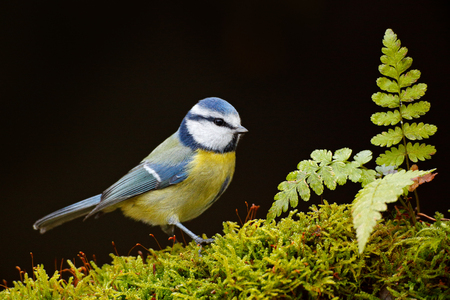 Blue Tit, cute blue and yellow songbird in autumn, nice green moss branch with fern, Germany, Cute little bird in the nature. Beautiful evening autumn light. Blue tit in nature habitat. Stock Photo
