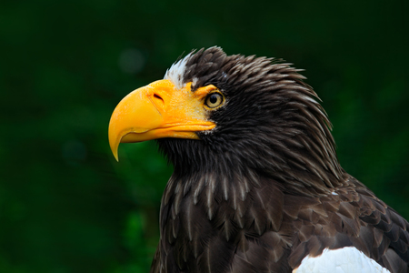 Stellers sea eagle, Haliaeetus pelagicus, portrait of brown bird of prey with big yellow bill, Kamchatka, Russia. Beautiful detail portrait of bird.