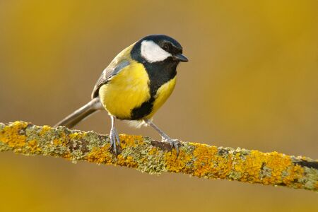 Great Tit, Parus major, black and yellow songbird sitting on the nice lichen tree branch, France. Bird in nature. Spring tit with beautiful morning light.