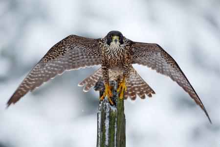 ペレグリン・ファルコン、冬の間に開いた翼を持つ木の幹に座っている獲物の鳥、ドイツ。雪の自然からの野生動物のシーン。鳥と一緒に初雪。大 写真素材