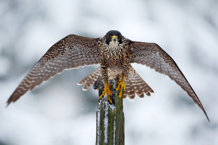 Peregrine Falcon, Bird of prey sitting on the tree trunk with open wings during winter with snow, Germany. Wildlife scene from snowy nature. First snow with bird. Winter with big white black falcon.  Standard-Bild