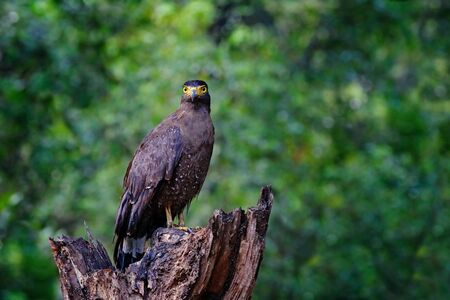 Crested serpent eagle,Spilornis cheela. Sri lankan eagle, perched on trunk in forest environment, looking for prey. Wildlife photography. Wilpattu national park, Sri Lanka, wildlife. Bird in habitat. Stok Fotoğraf