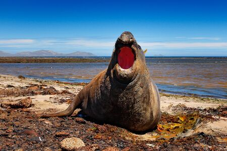 Elephant seal lying in water pond, dark blue sky, Falkland Islands. Wildlife scene from nature. Animal behaviour in habitat. Coast stone rocky beach with seal, open muzzle. Angry danger male animal. Stock Photo