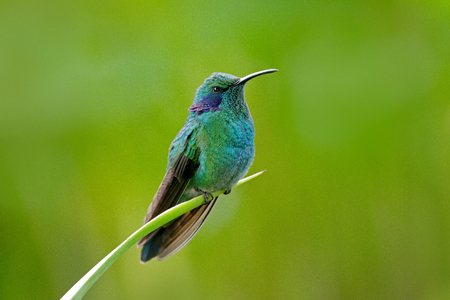 Green Violet-ear, Colibri thalassinus, green and blue hummingbird with green forest flower in background, nature habitat, tropic forest, Savegre, Costa Rica. Wildlife scene from jungle nature.  Stock Photo