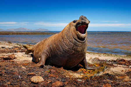 Angry danger animal. Male of Elephant seal lying in water pond, dark blue sky, Falkland Islands. Wildlife scene from nature. Animal behaviour in habitat. Coast stone rocky beach with seal, open muzzle.