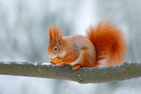 Cute orange red squirrel eats a nut in winter scene with snow, Czech republic. Wildlife scene from snowy nature. Animal behaviour. Squirrel with big orange tail. Feeding scene on the tree.