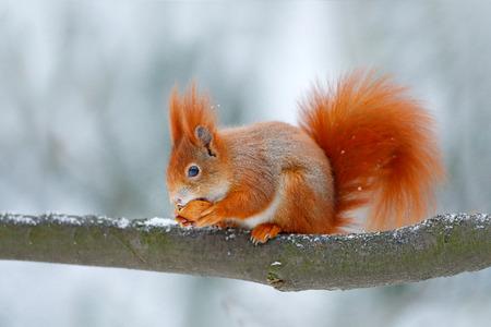 Nettes Eichhörnchen des orange Rotes isst eine Nuss in der Winterszene mit Schnee, Tschechische Republik. Szene der wild lebenden Tiere von der schneebedeckten Natur. Verhalten der Tiere. Eichhörnchen mit großem orange Schwanz. Fütterungsszene auf dem Baum.