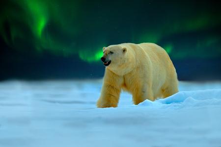Niedźwiedź polarny z zorzą polarną, Aurora Borealis. Nocny obraz z gwiazdami, ciemne niebo. Niebezpiecznie wyglądająca bestia na lodzie ze śniegiem w północnej Kanadzie. Scena dzikiej przyrody z natury. Mroźna zima z niedźwiedziem polarnym.