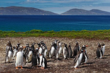 Group of gentoo penguins in the green grass. Gentoo penguins with blue sky with white clouds. Penguins in the nature habitat. Birds from Falkland Island. Penguin with beautiful landscape. Stock Photo