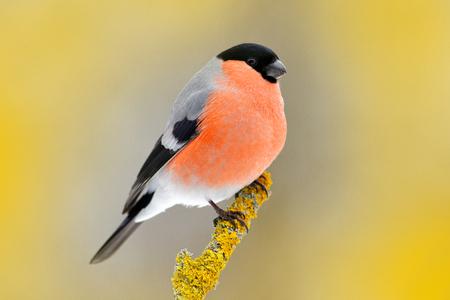 Rode zangvogel Goudvink zittend op gele korst tak, Sumava, Tsjechische Republiek. Wildlife scène uit de natuur. Goudvink in bos, gele boombladeren op de achtergrond. Stockfoto