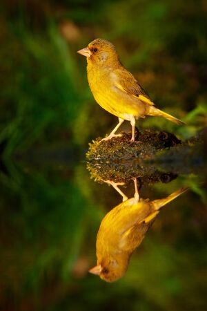 Bird, mirror reflection. Green and yellow songbird European Greenfinch, Carduelis chloris, sitting on the yellow larch branch, with clear grey background. Wildlife scene from wild autumn. nature.