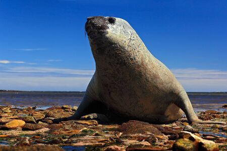Elephant seal lying in water pond, sea and dark blue sky, animal in the nature coast habitat, Falkland Islands. Elephant seal in the nature habitat. Elephant seal in the water. Sea waves with Seal.