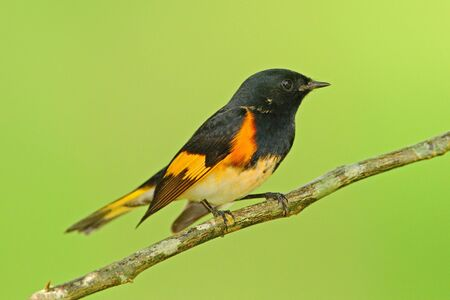 American redstart, Setophaga ruticilla, 멕시코에서 온 New World Warbler. 자연 서식 지에서 Tanager입니다. 트로픽 자연에서 야생 동물 장면입니다. 남아메리카에서 조류 관찰. 오렌지 시체와 함께 검은 머리.