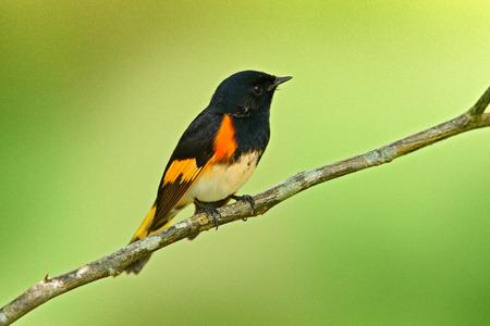 아메리칸 레드 스타트, Setophaga ruticilla, 멕시코에서 온 New World Warbler. 자연 서식 지에서 Tanager입니다. 남미에서 조류 관찰. 오렌지 시체와 함께 검은 머리. 트로픽 자연에서 야생 동물 장면입니다.