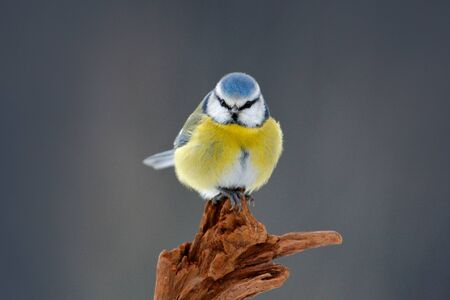 Cute little bird in the nature. Blue Tit, cute blue and yellow songbird in winter scene, snow flake and nice snow flake and nice lichen branch, Germany, Face portrait. Stock Photo