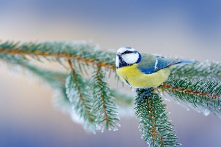 Blue Tit, cute blue and yellow songbird in winter scene, snow flake and nice spruce tree branch, Russia. First snow with bird. Winter with small bird. Wildlife scene from snowy nature.