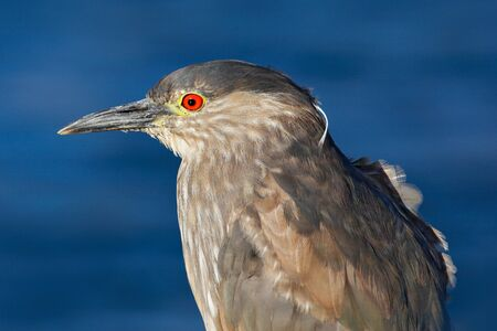 Sea bird. Heron sitting on the rock cost. Heron sitting on the stone. Night heron, Nycticorax nycticorax, grey water bird sitting in the stone coast, blue sea with in the background. Detail portrait.