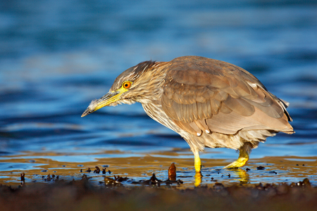 Sea bird. Heron sitting on the rock cost. Heron sitting on the stone. Night heron, Nycticorax nycticorax, grey water bird sitting in the stone coast. Morning in blue water surface.