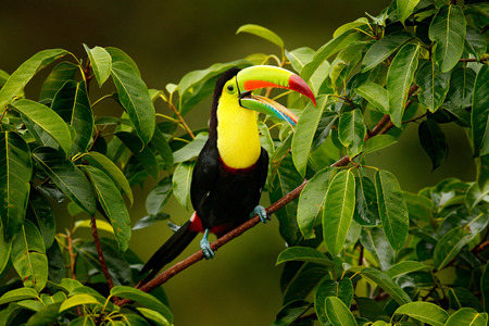 Toucan sitting on the branch in the forest, Boca Tapada, green vegetation, Costa Rica. Nature travel in central America. Keel-billed Toucan, Ramphastos sulfuratus, bird with big bill. Фото со стока