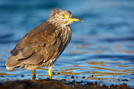 Heron sitting on the rock cost. Heron sitting on the stone. Night heron, Nycticorax nycticorax, grey water bird sitting in the stone coast. Morning in blue water surface. Sea bird.  Stock Photo