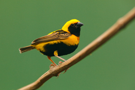 Village Weaver, Ploceus cucullatus, yellow and black bird from Uganda, Africa. Wildlife scene from nature. Weaver sitting on the tree. Animal in forest.