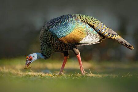Ocellated Turkije, Meleagris ocellata, zeldzame bizarre vogel, Tikal National Park, Gutemala. Wild Turkije, ruïnesbos in Zuid-Amerika. Wildlife scène uit de natuur. Vogel met rode wrat, aardhabitat.