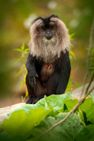 Monkey Lion-tailed Macaque, Macaca silenus, animal on green tropic forest habitat. Lion-tailed Macaque, endemic to the Western Ghats hill ranges, India, Asia. Monkey in the nature habitat, with mane.