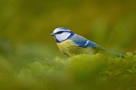 Blue tit in nature habitat. Blue Tit, cute blue and yellow songbird in autumn, nice green moss branch with fern, Germany, Cute little bird in the nature. Beautiful evening autumn light.