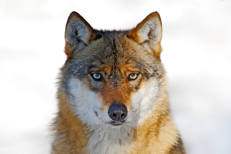 Face to face portrait of wolf. Winter scene with danger animal in the forest. Gray wolf, Canis lupus, portrait with stuck out tongue, at white snow. Wildlife scene from nature. Stock Photo