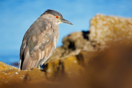 Heron sitting on the rock cost. Heron sitting on the stone. Night heron, Nycticorax nycticorax, grey water bird sitting in the stone coast, California, blue sea with in the background, USA. Sea bird.