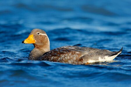 Goose in the blue water. Kelp goose, Chloephaga hybrida, is a member of the duck, goose. It can be found in the Southern part of South America; in Patagonia, Falkland Islands. Wildlife nature.
