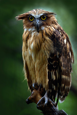 Sunda fishing owl, Ketupa ketupu javanensis, rare bird from Asia. Malaysia beautiful owl in the nature forest habitat. Bird from Malaysia. Fish owl sitting on the branch in the green tropic forest. 写真素材