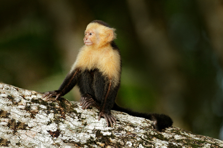 White-headed Capuchin, black monkey sitting on the tree branch in the dark tropic forest. Cebus capucinus in gree tropic vegetation. Animal in the nature habitat. Green wildlife of Costa Rica.
