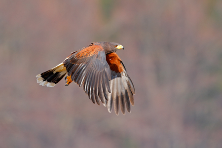 Harris Hawk, Parabuteo unicinctus, landing. Wildlife animal scene from nature. Bird in fly. Flying bird of prey. Wildlife scene from Mexico nature. Eagle in fly.