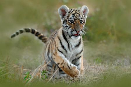 귀여운 호랑이 새끼. 잔디에서 시베리아 호랑이입니다. 아무르 호랑이 초원에서 실행합니다. 액션 야생 동물 위험 동물과 여름 현장입니다. 타지, 러시 스톡 콘텐츠