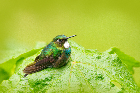 Cute bird sitting on the green leave, small bird in the green leaves, animal in the nature habitat, mountain tropic forest, wildlife, Costa Rica. Stock Photo