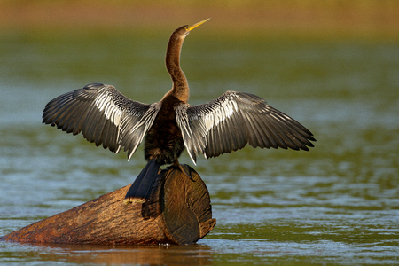 Anhinga, water bird in the river nature habitat. Water bird from Costa Rica. Heron in the water. Bird with log neck and bill. Anhinga sitting on the branch above water, open wing, river in Costa Rica.