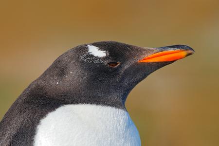 Detail portrait of penguin. Gentoo penguin, Pygoscelis papua, Falkland Islands. Head of bird from Antarctica. wildlife scene from nature. Stock Photo