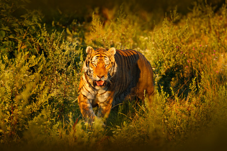 Face fixed tiger look. Siberian tiger in evening sun. Amur tiger in sunset grass. Action wildlife winter with danger animal. Summer in tajga, Russia. Beautiful background. Tiger in the forest. Banque d'images