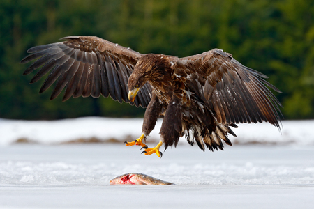White-tailed Eagle with catch fish in snowy winter, snow in forest habitat, landing on ice. Action wildlife winter scene from Europe nature. Eagle hunting fish. Bird landing on ice. Fish with snow.