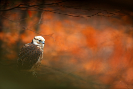 Lanner Falcon, Falco biarmicus, bird of prey sitting on the stone, orange habitat in the autumn forest, rare animal, France. Stock Photo