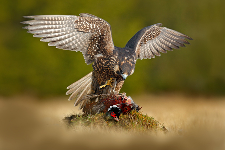 Peregrine falcon with catch Pheasant. Beautiful bird of prey Peregrine Falcon feeding kill big bird on the green moss rock with dark forest in background. Action wildlife feeding scene from nature. Archivio Fotografico
