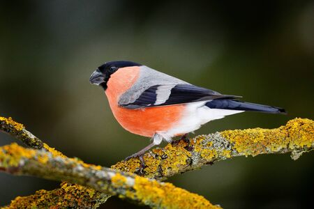 Sonf bird in green forest. Red songbird Bullfinch sitting on yellow lichen branch, Sumava, Czech republic. Wildlife scene from nature. Bullfinch in forest, yellow tree leaves in the background.